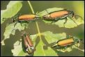 IMG_5984_Green_beetle