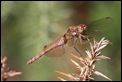 IMG_7497_Common_Darter_female