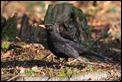 IMG_8416_Blackbird