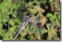 IMG_1798_Southern_Skimmer_male