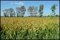 P1010573_Camargue_rice