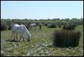 P1010576_Camargue_horses