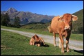 IMG_2033_Col_cows