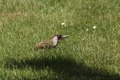 Green_Woodpecker_1