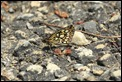 Large_Chequered_Skipper_2