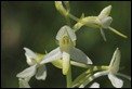 Lesser_Butterfly_Orchid_1