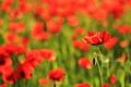 Poppies_4