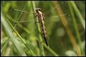 White-tailed_Skimmer_1