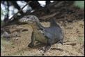 J01_2028 SBG Monitor Lizard