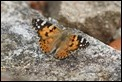 J01_2345 Painted Lady