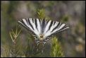 J01_2397 Southern Swallowtail