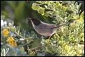 J01_2403 Sardinian Warbler