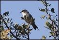J01_2498 Sardinian Warbler