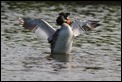 J01_3143 Great Crested Grebe
