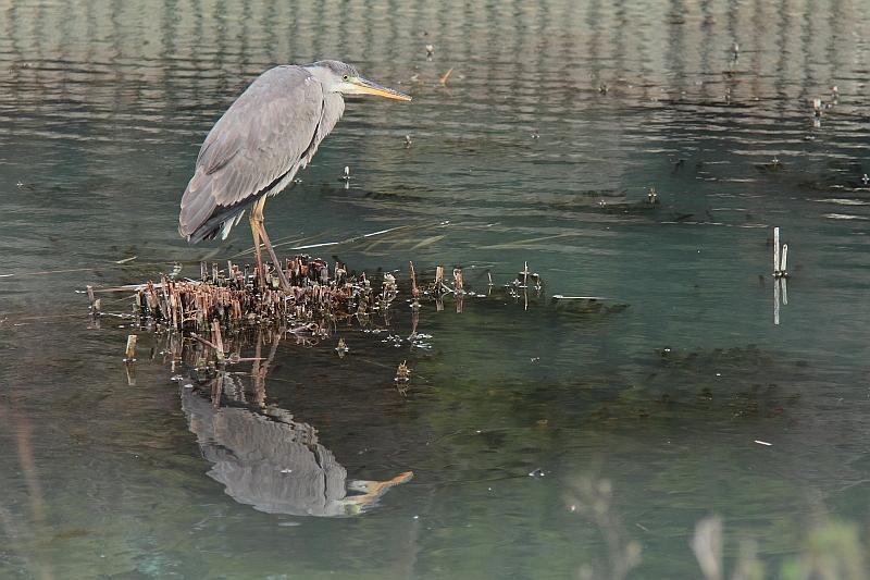 _MG_2151 Grey Heron