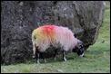 J14_0328 Jacobs goat