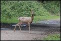 J14_0623 Roe Deer Doe