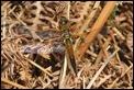J14_0626 Libellula quadrimaculata