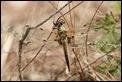 J14_0653 Libellula quadrimaculata