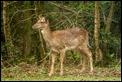 _MG_4003 Fallow Deer