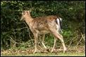 _MG_4005 Fallow Deer