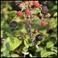 J14_2212 Migrant and blackberries
