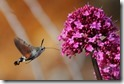 J15_2804 Hummingbird Hawkmoth