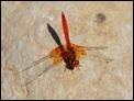 J15B0300 Orange-winged Dropwing male