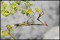 J16_0020 Conehead Mantis - Empusa pennata
