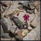 _MG_7646 Linaria aeruginea (Toadflax)