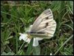 J16_1197 Artogeia bryoniae female
