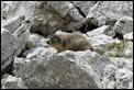 J16_1223 Marmot