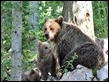 J16_1405 Mother and cubs