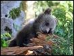 J16_1468 Cub chewing wood