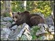 J16_1526 Male bear I think