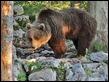 J16_1540 Male bear I think
