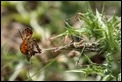 J16_1851 Conehead Mantis with prey