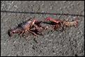 J16_0225 Crayfish