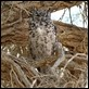 J17_0215 Spotted Eagle Owl