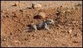 J17_0232 South African Ground Squirrel