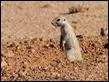 J17_0233 South African Ground Squirrel