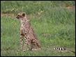 J17_0945 Cheetah