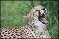 J17_0950 Cheetah