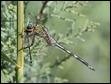 J17_1420  Long Skimmer eating