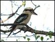J17_3065 Kookaburra
