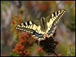 Hill-topping Swallowtail