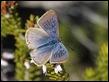 J18_1812 Long-tailed Blue