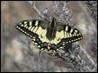 J18_1823 Papilio machaon