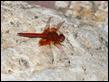 J18_1965  Trithemis kirbyi