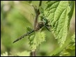 _18C4780 Somatochlora flavomaculata